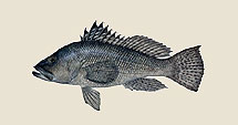 blackseabass